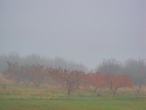 apple-trees-mist