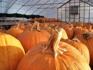 Pumpkins in a green house