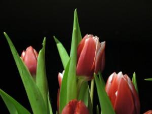 Christmas-tulips