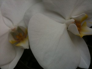 Orchids (macro)