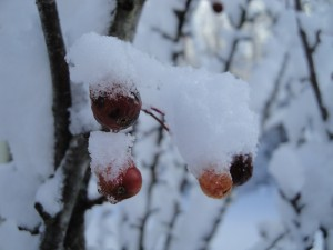 snow-and-goose-berries