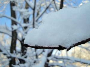snowy-maple