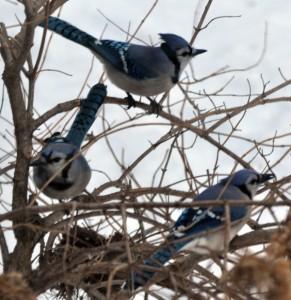 Three blue jays