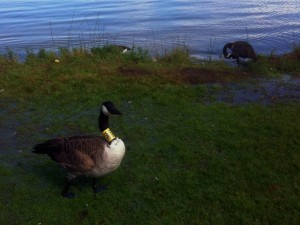 Banded Canadian Goose
