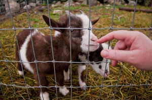 Baby Goats at J & F Farms