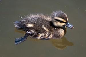 duckling