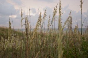 Sea Grass on Ocracoke Island
